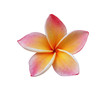 Frangipani, Pumeria flower isolated on white
