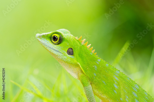 Beautiful green gecko lizard