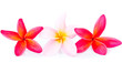 Pink and red plumeria flower arrangement isolated