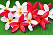 Arrangement of colorful frangipani