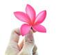Hand holding plumeria flower