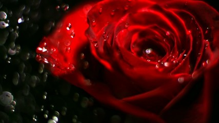 Rose and water drops, Slow Motion
