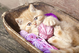 Fototapety Exotic kitten playing with a ball of wool