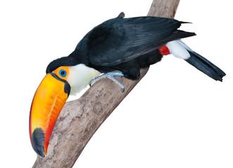 Very curious toucan