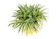 Carex morrowi ice avec pot jaune