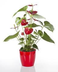 Anthurium avec pot rouge