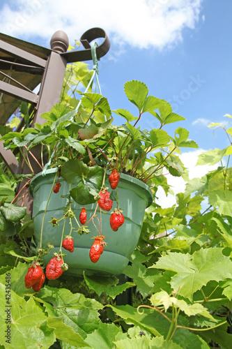 fraisier suspendu photo libre de droits sur la banque d 39 images image 42435486. Black Bedroom Furniture Sets. Home Design Ideas