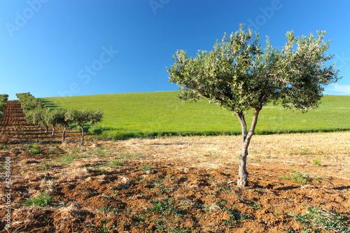 Albero di olive in fiore#2
