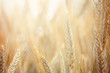 canvas print picture - Wheat