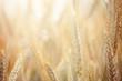 Wheat - 42436223