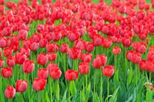 Tulipes Fleurs dans le jardin