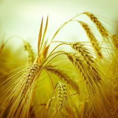 Barley - rye - oat