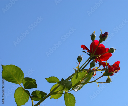 Rose growing over blue sky