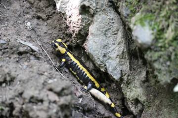 Feuersalamander im Nationalpark Kellerwald