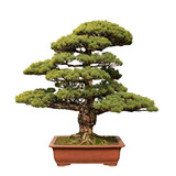 green bonsai tree of pine
