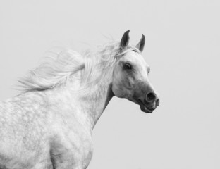 white arabian stallion