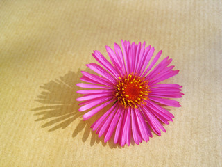 Herbstaster Close-up   4