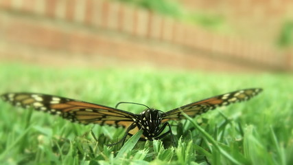 Monarch Butterfly on Green Grass (Close-up)
