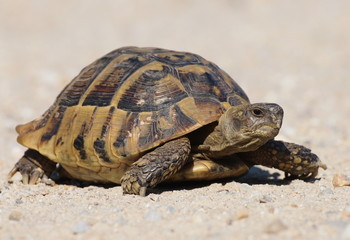 turtle on sand, testudo hermanni