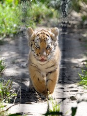 Tigerbaby hinter Gittern