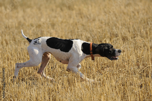 hunting quail in a  wheat field