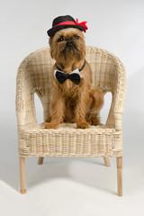 Dog dressed as a groom on armchair