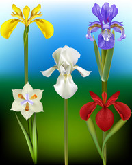 Iris Flower Vector Illustrations