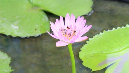 close up bee on the lotus flower