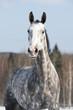 White horse portrait in front focus