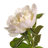 Stem and flower of a white peony