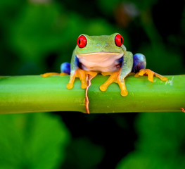 Red eyed tree frog looking curious