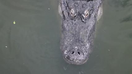 Florida Alligator eyes blinking