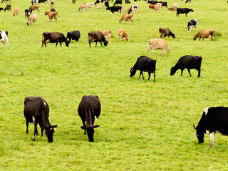 Herd of cows on lush green meadow pasture