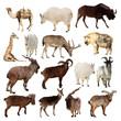 Set of Artiodactyla animals. Isolated over white