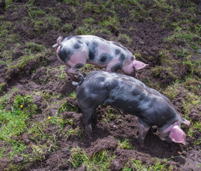 Two small Piétrain pigs rooting in the mud