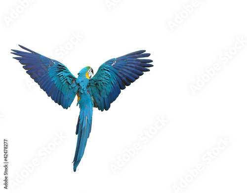 Leinwandbild Motiv Flying colorful parrot isolated on white