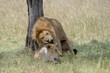 Lion pair mating.