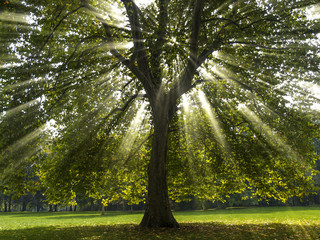 Rays breaking through Sycamore Tree