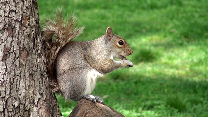 Wild squirrel in the park