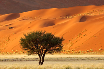 Red sand dune and African Acacia tree, Sossusvlei, Namibia