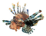 Lionfish isolated on white