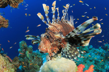 Lionfish on coral reef in the Red Sea