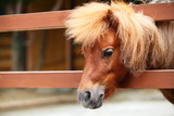 Brow miniature horse. Outdoors poster