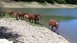 cavalli liberi attraversano ruscello