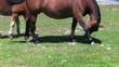 cavalli liberi al pascolo