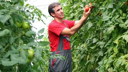 Organic Farmer Harvesting Tomatoes