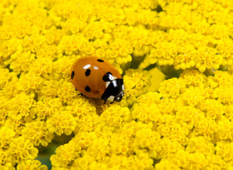Siebenpunkt-Marienkäfer, gelbe Dolden