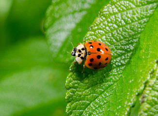 portrait of asian ladybird from above