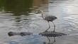 Alligator and Crane, florida swamp