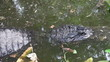 Alligator in a floridian swamp